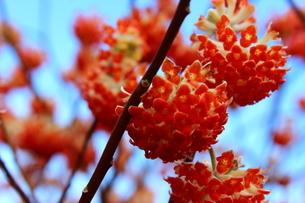 赤いみつまたの花の写真素材 [FYI03157402]