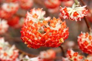 赤いみつまたの花の写真素材 [FYI03157403]