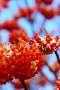 赤いみつまたの花の写真素材 [FYI03157404]
