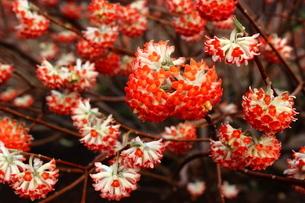 赤いみつまたの花の写真素材 [FYI03157405]