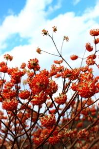 赤いみつまたの花の写真素材 [FYI03157406]