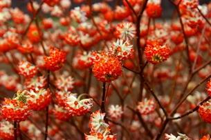 赤いみつまたの花の写真素材 [FYI03157407]