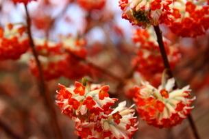 赤いみつまたの花の写真素材 [FYI03157408]