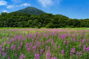 八甲田山麓 田代岱に咲くヤナギランと雛岳の写真素材 [FYI03157798]