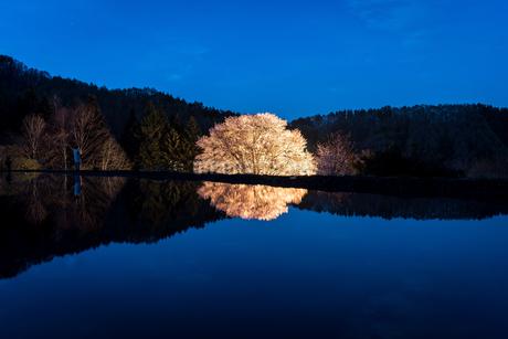 天皇桜 日本 群馬県 利根郡の写真素材 [FYI03157928]