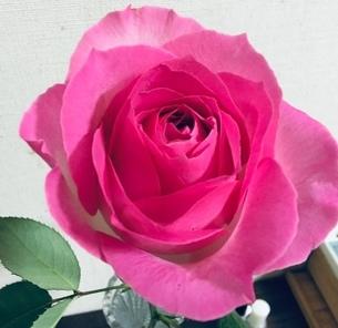 大輪鮮やかピンクのバラの写真素材 [FYI03158534]