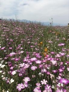 花畑の写真素材 [FYI03159029]