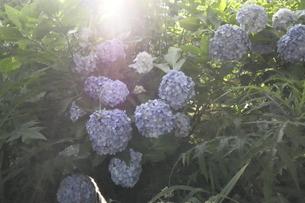 紫陽花の楽園の写真素材 [FYI03159033]