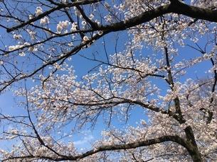 桜の写真素材 [FYI03159093]