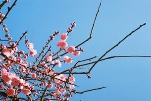 梅の花の写真素材 [FYI03159106]
