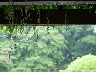 雨の庭園の写真素材 [FYI03159150]