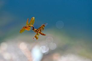 米コロラド州デンバー近郊の池で交尾行動をとろうと飛んでいるトンボのつがいの風景の写真素材 [FYI03159234]