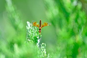 お尻を上にあげて葉にとまっているトンボの写真素材 [FYI03159249]