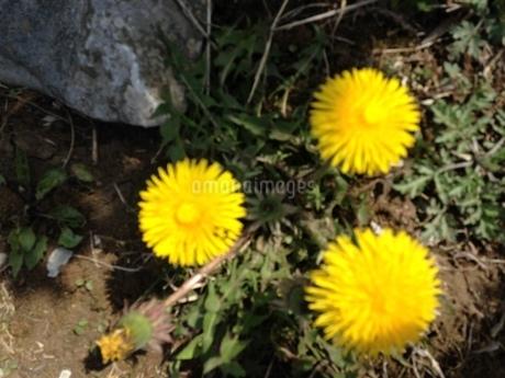 力強く咲くたんぽぽの写真素材 [FYI03159298]