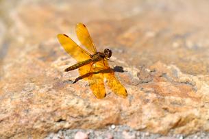 岩にとまるオレンジ色のトンボの写真素材 [FYI03159317]