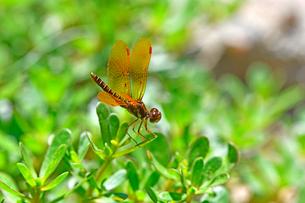 北アメリカのコロラド州に見られた植物にとまる琥珀色の可愛いトンボの写真素材 [FYI03159331]