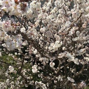 桜の写真素材 [FYI03159367]