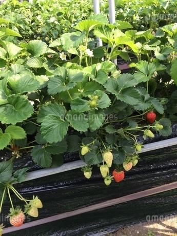 苺畑の写真素材 [FYI03159368]