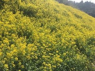 菜の花の写真素材 [FYI03159392]