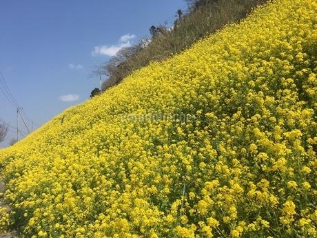 菜の花の写真素材 [FYI03159393]