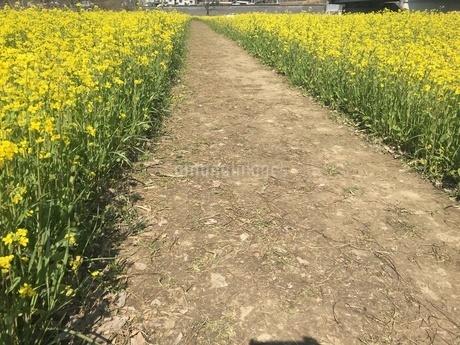 菜の花の写真素材 [FYI03159394]
