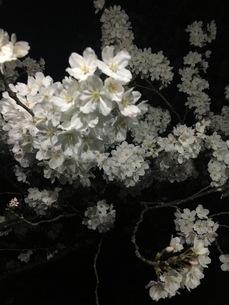夜桜の写真素材 [FYI03159404]