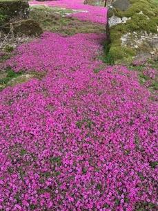 芝桜の写真素材 [FYI03159412]