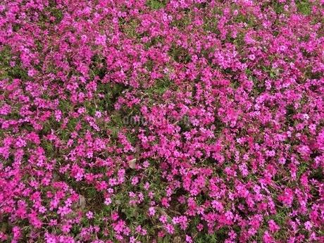 芝桜の写真素材 [FYI03159413]