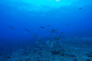 小笠原のボニンブルーの海を泳ぐギンガメアジの群れの写真素材 [FYI03159435]
