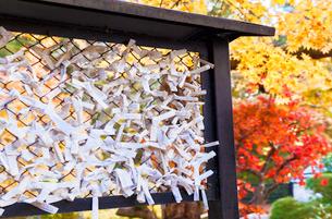 最勝院高徳庵のおみくじ結び所に奉納されたおみくじの写真素材 [FYI03159436]