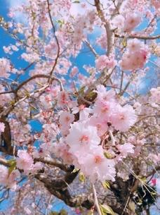 桜/2の写真素材 [FYI03159527]