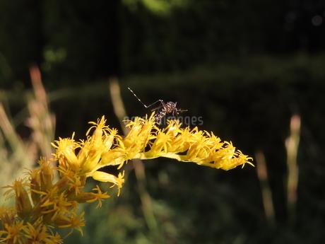 セイタカアワダチソウの蜜を吸うヤブ蚊(横から見たヒトスジシマカ)の写真素材 [FYI03159880]