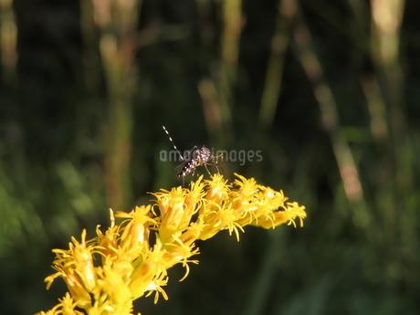 セイタカアワダチソウの蜜を吸うヤブ蚊(やや後ろ向きのヒトスジシマカ)の写真素材 [FYI03159881]