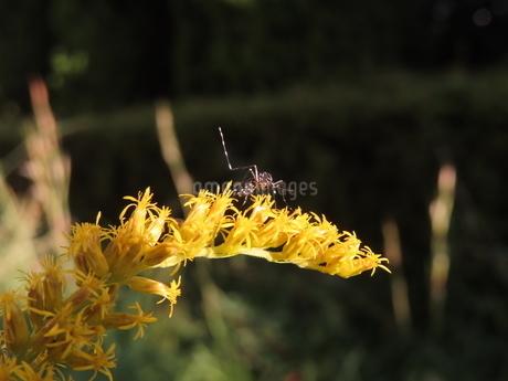 セイタカアワダチソウの蜜を吸うヤブ蚊(やや手前向きのヒトスジシマカ)の写真素材 [FYI03159882]