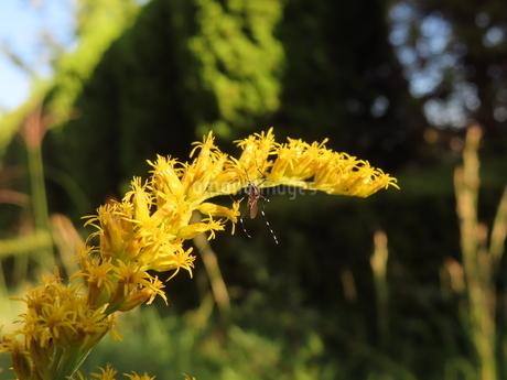 セイタカアワダチソウの蜜を吸うヤブ蚊(上向きのヒトスジシマカ)の写真素材 [FYI03159883]
