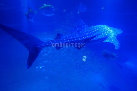 ジンベイザメの写真素材 [FYI03160006]