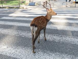 横断歩道を渡りかけて少し振り返る雄ジカの写真素材 [FYI03160043]
