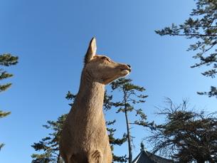 青空をバックに右を向く奈良公園のシカを見上げた写真の写真素材 [FYI03160086]