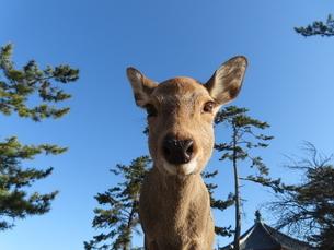 青空をバックにカメラを見下ろす奈良公園のシカの写真素材 [FYI03160087]