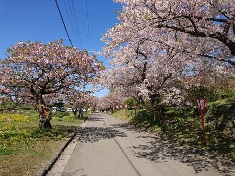 桜の木の写真素材 [FYI03160124]