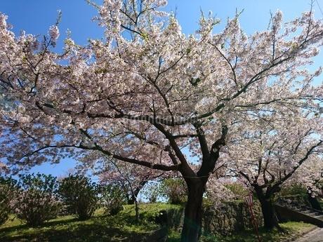 桜の木の写真素材 [FYI03160127]
