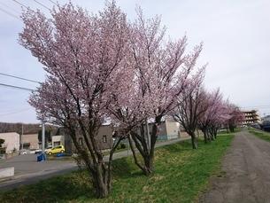 桜の木の写真素材 [FYI03160130]