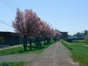 桜の木の写真素材 [FYI03160132]