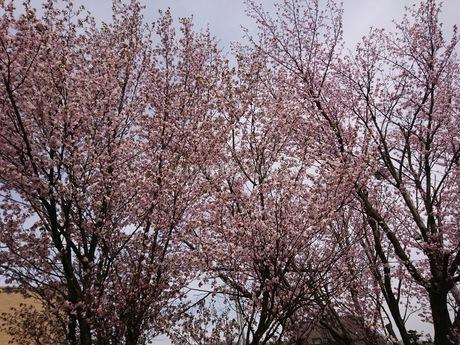 桜の木の写真素材 [FYI03160133]