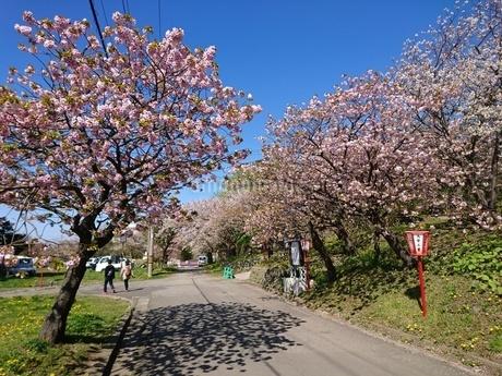 桜の木の写真素材 [FYI03160136]