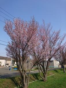 桜の木の写真素材 [FYI03160138]