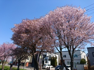 桜の木の写真素材 [FYI03160139]