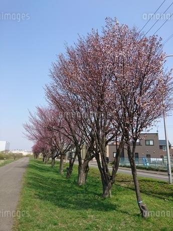 桜の木の写真素材 [FYI03160148]