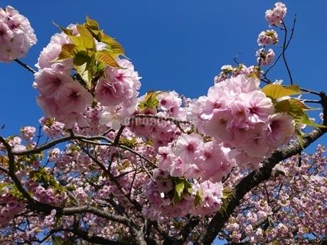 桜の木の写真素材 [FYI03160149]