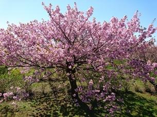 桜の木の写真素材 [FYI03160151]